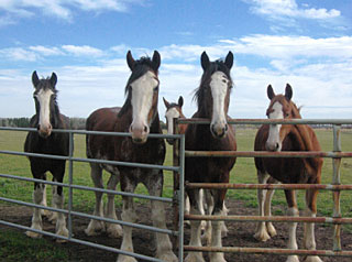 Young horses at Riverside Clydesdales